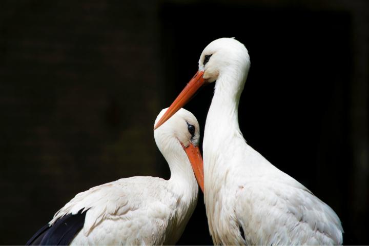 Storke dyreliv Elben