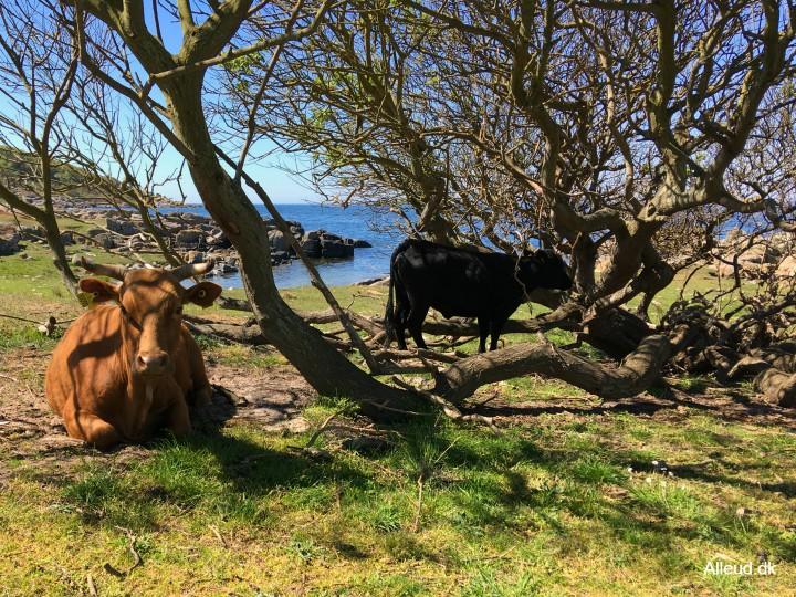 Hammerknuden Bornholm hammeren kyststien vandring kvæg