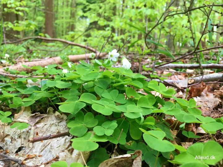 Skovsyre Løvskov vandring Dollerup Bakker