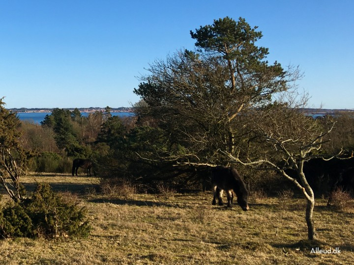 Exmoor ponyer Mols Bjerge